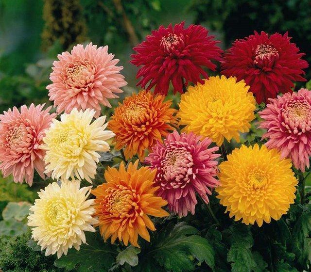 بزرگترین نمایشگاه گل داوودی کشور در محلات شروع بکار می نماید